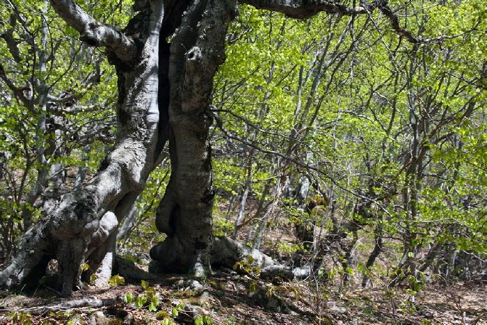 Демерджи буковый лес