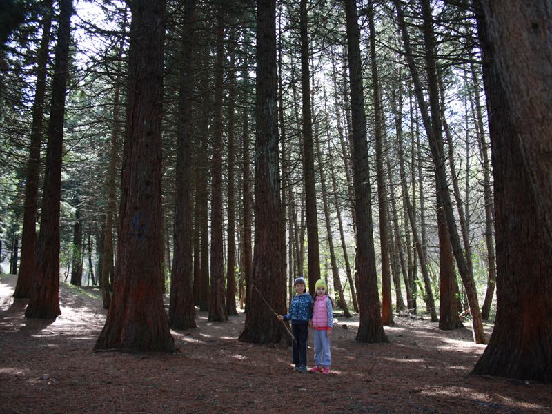 фото мамонтовые деревья
