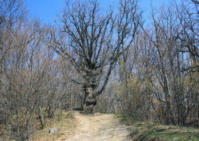 буковый стражник на въезде в лес