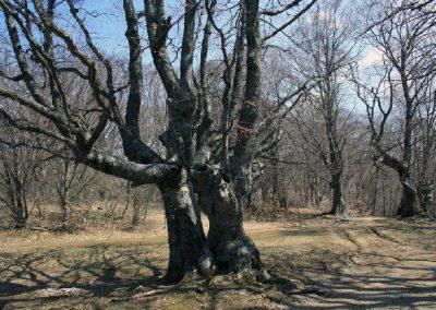 буковые деревья