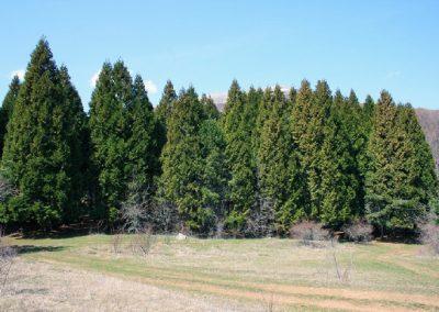 роща мамонтовых деревьев