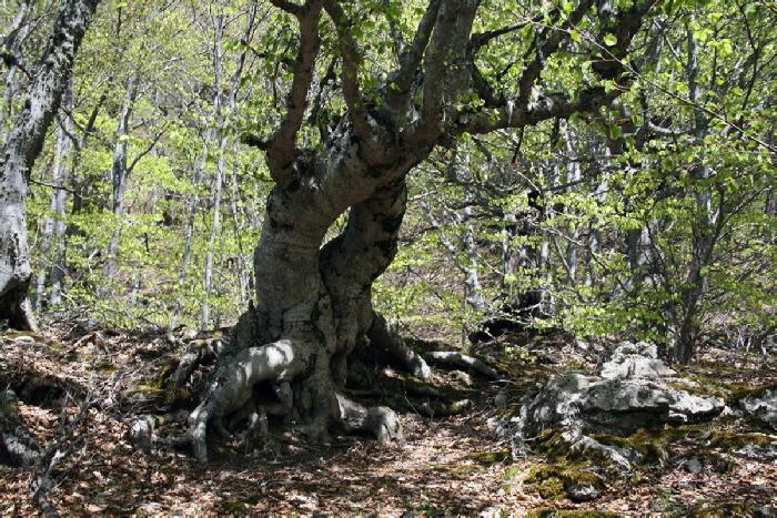 Демерджи чудные деревья букового леса