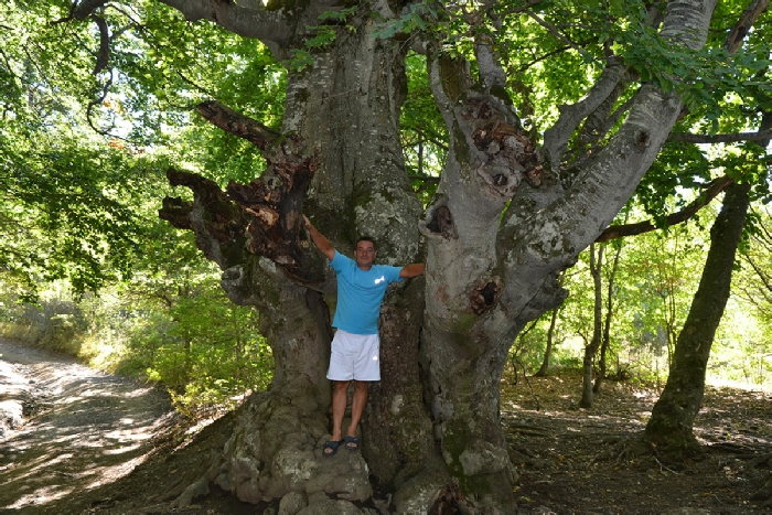 Демерджи - старожила леса - огромный бук