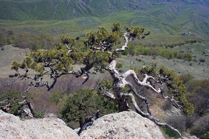горный бонсай на Демерджи